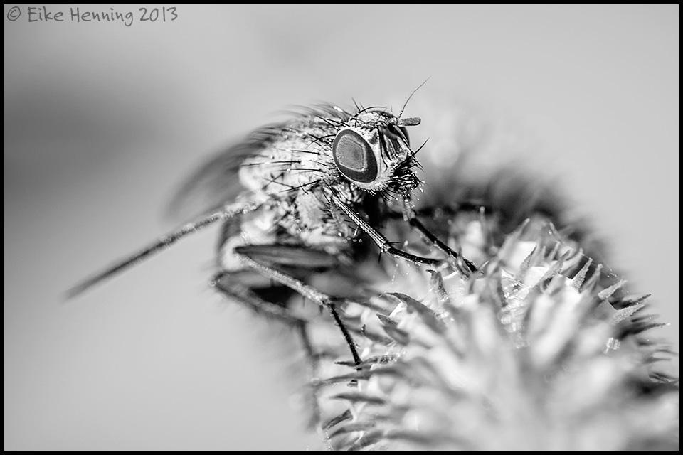 Fliege in s/w