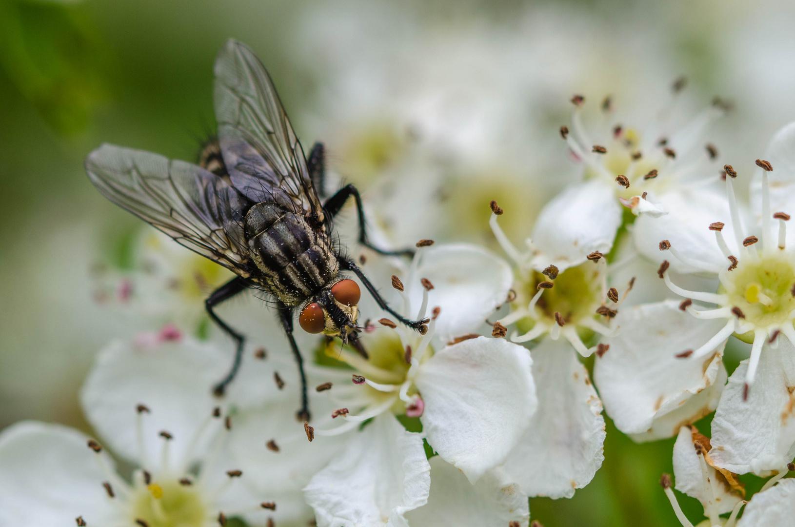 Fliege mit großem Hunger