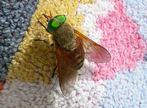 Fliege mit grünen Augen
