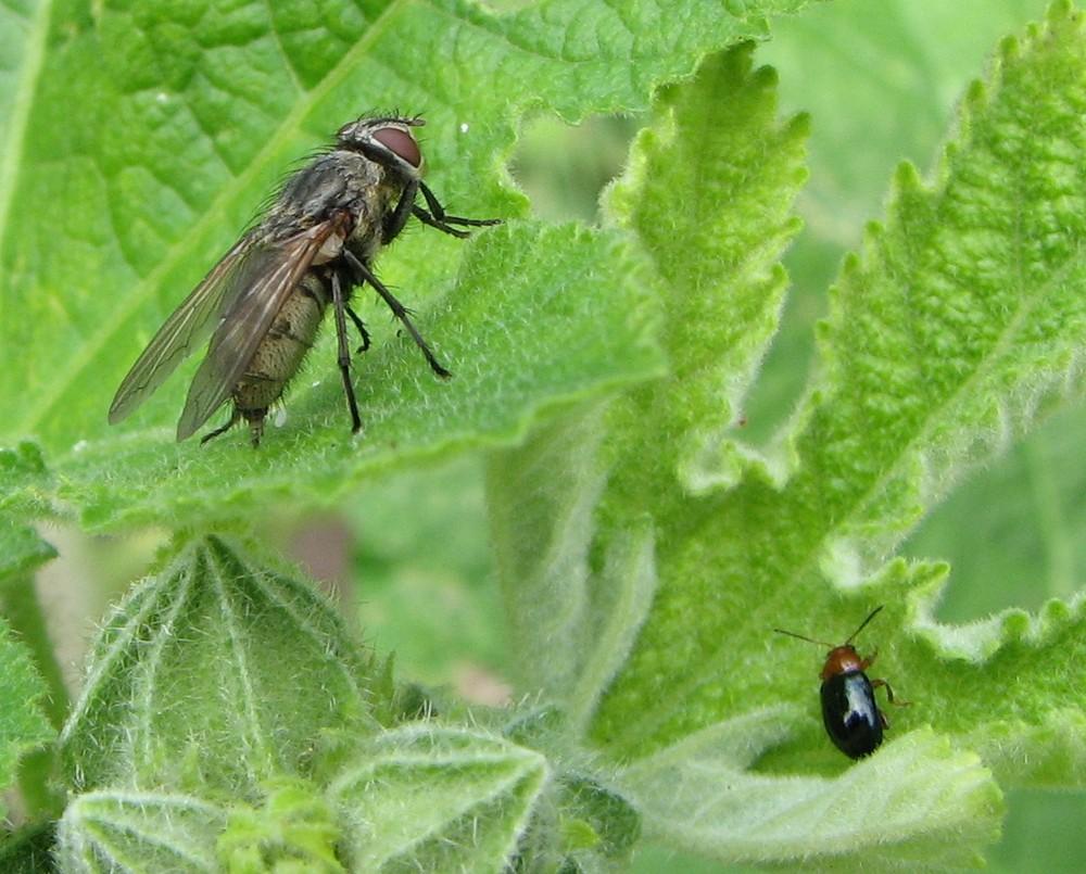 Fliege mit Käfer