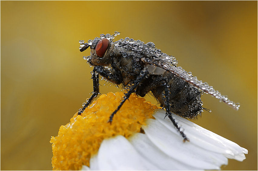 Fliege mit Mega-Kontaktlinse