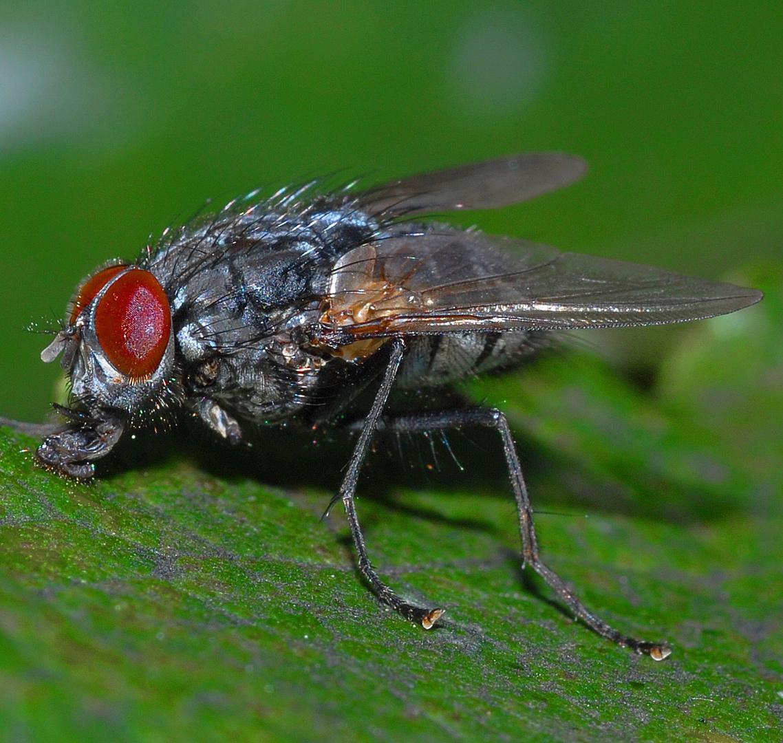 Fliege mit Rüsseldetails