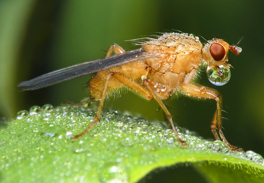 Fliege mit Tautropfen