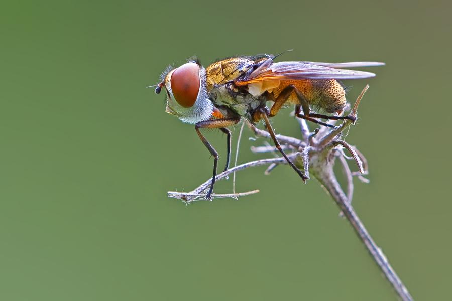 Fliege mit Vollbart