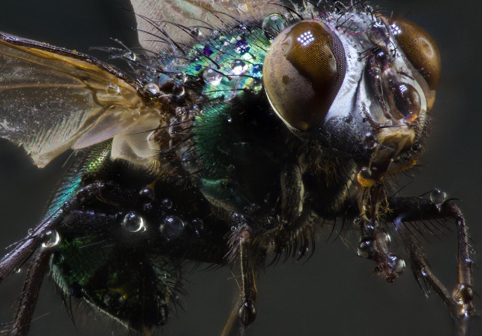 Fliege mit Wassertropfen