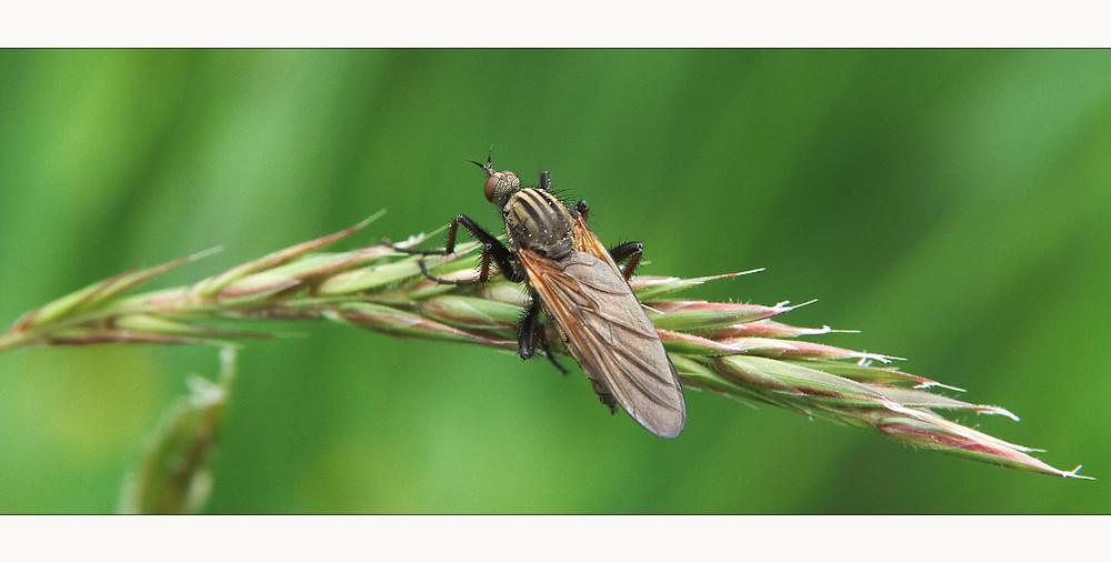 Fliege, Mücke, oder Schnake?
