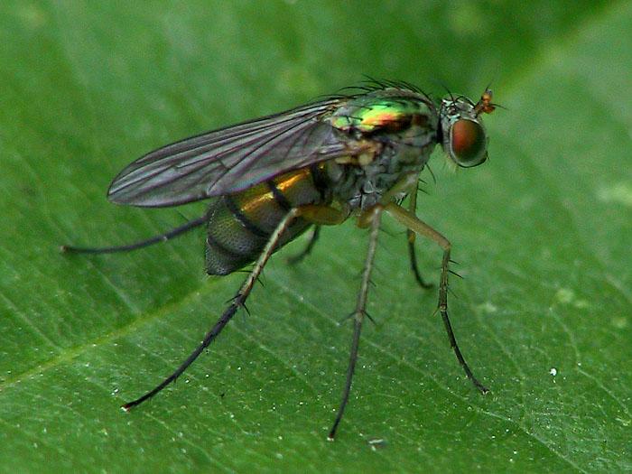 Fliege oder Mücke ??