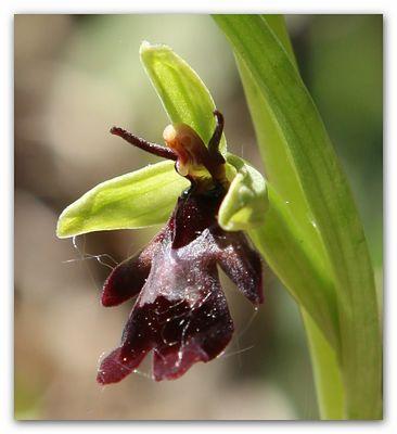 Fliege oder Orchidee ? 7989