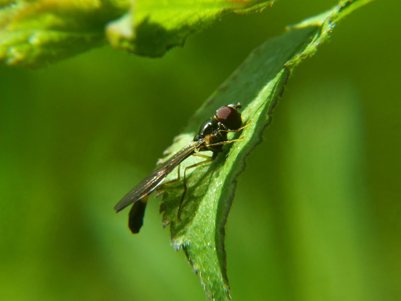 Fliege oder Wespe?