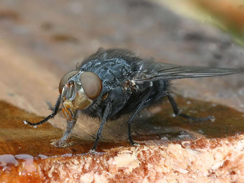 Fliege saugt Honig.