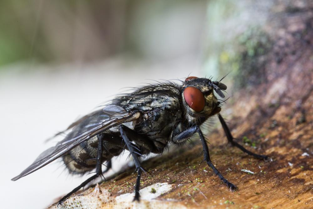 Fliege Seitenansicht