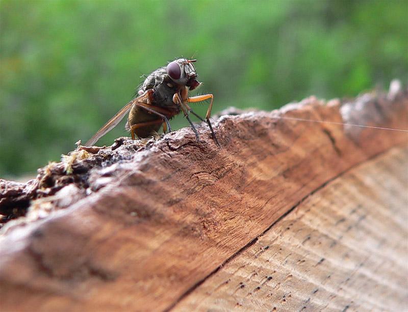 Fliege sitzend