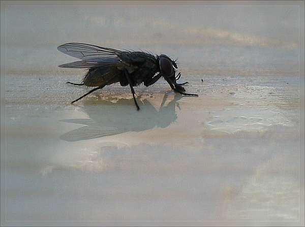 Fliege trinkt Apfelsaftschorle ;)