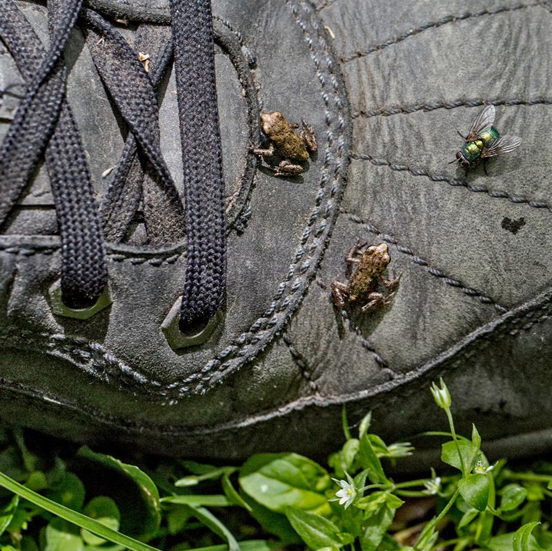 Fliege und zwei kleine Frösche untersuchen den Schuh von Gulliver!