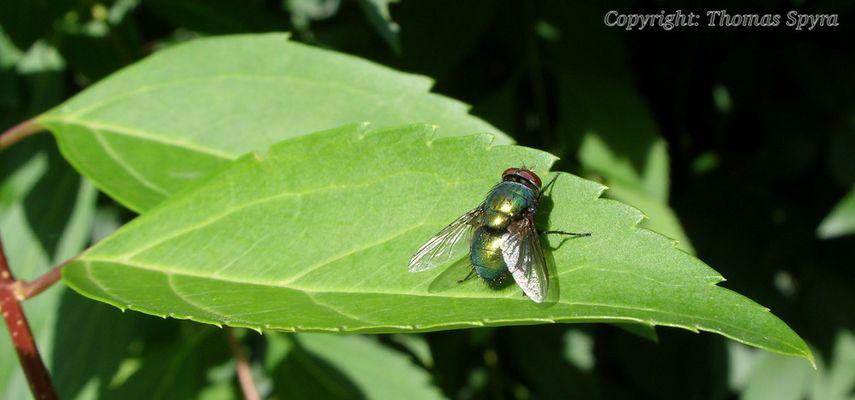 Fliege_02