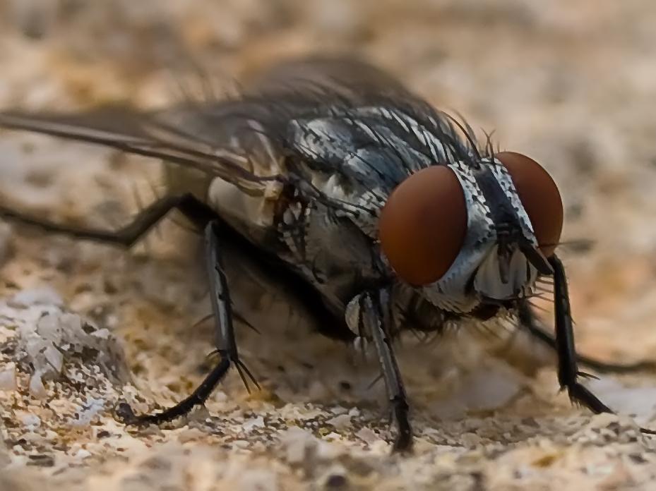 Fliegen Makro 1