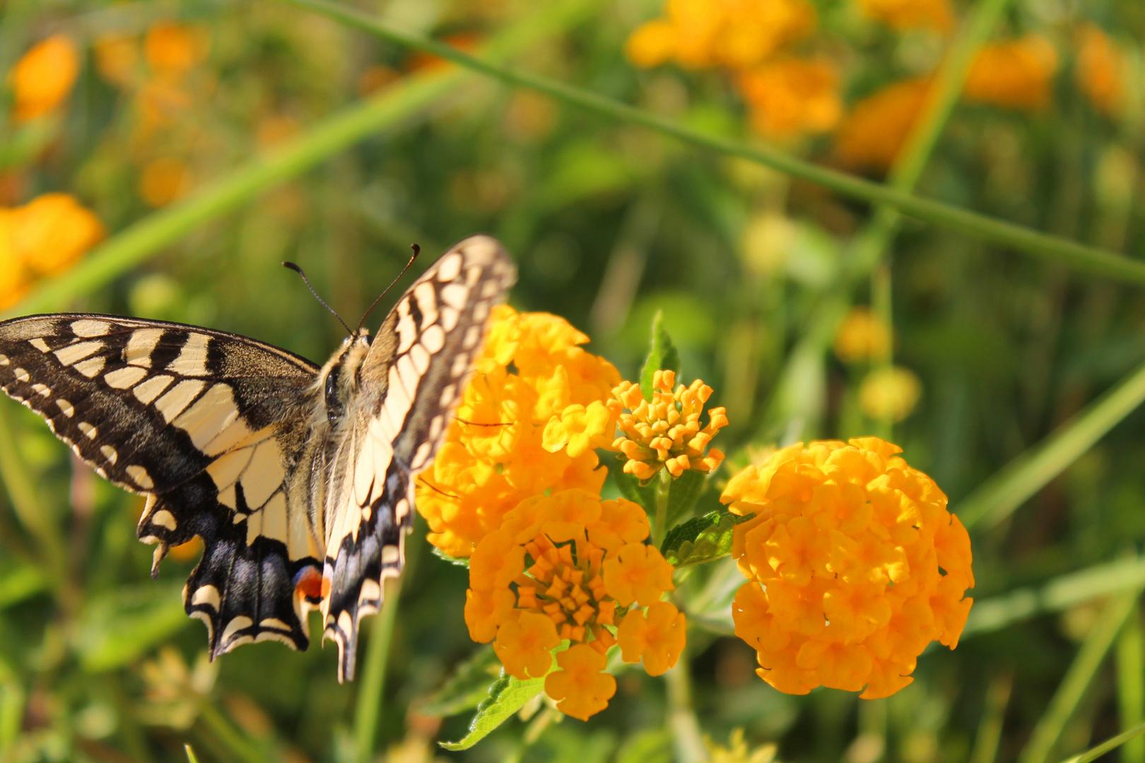 Fliegen wie ein Schmetterling