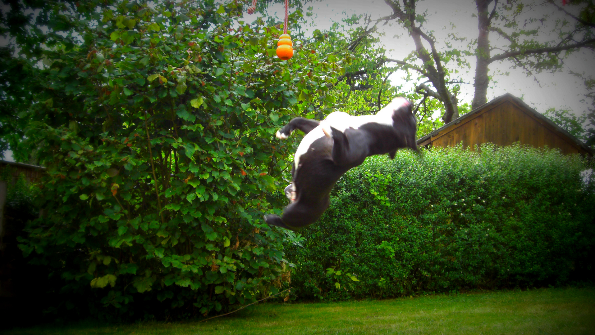 fliegende Bulldogge