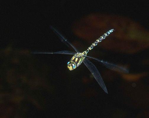 fliegende Libelle