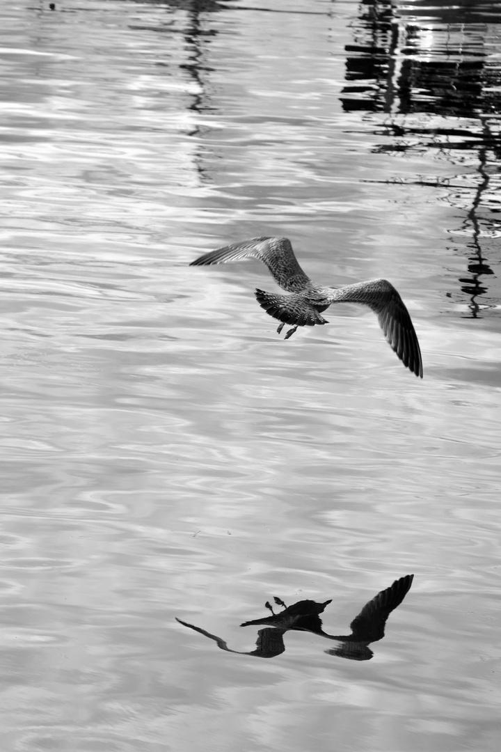 Fliegende Möwe.