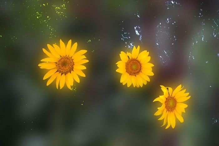 Fliegende Sonnenblumen?