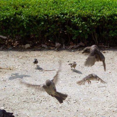 Fliegende Spatzen