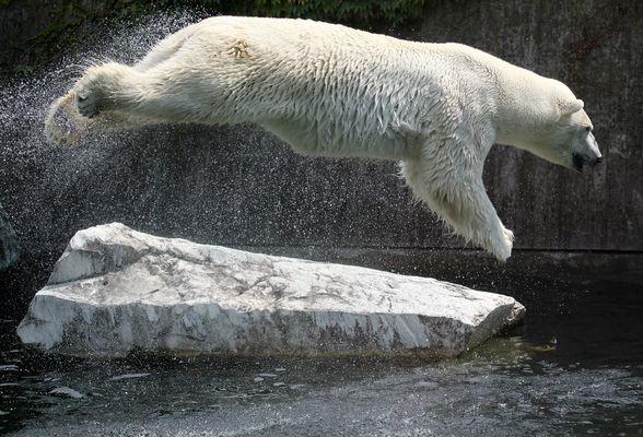 Fliegender Eisbär