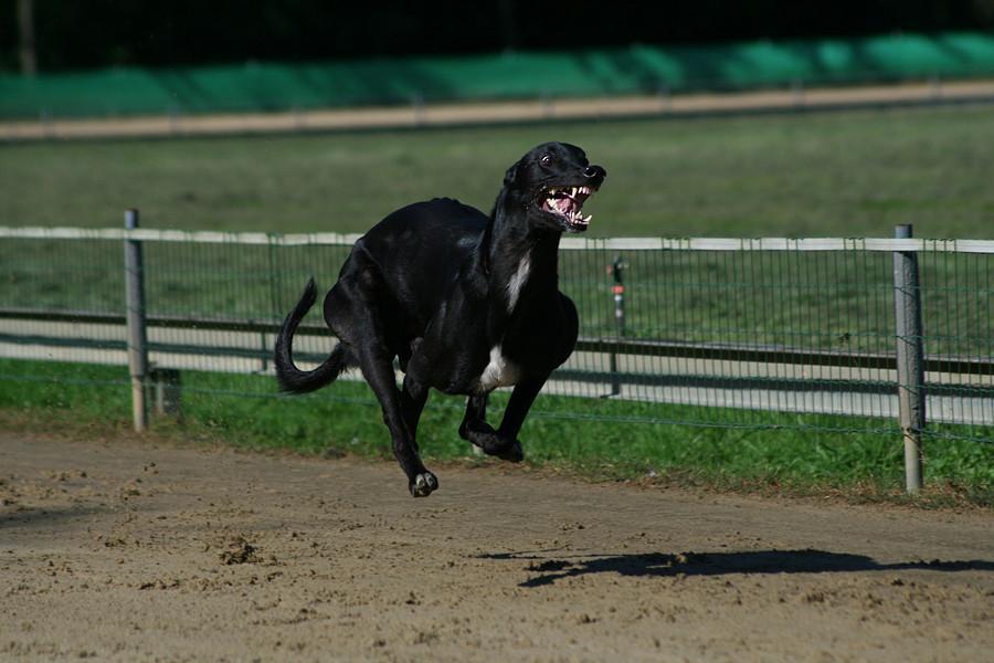 Fliegender Greyhound