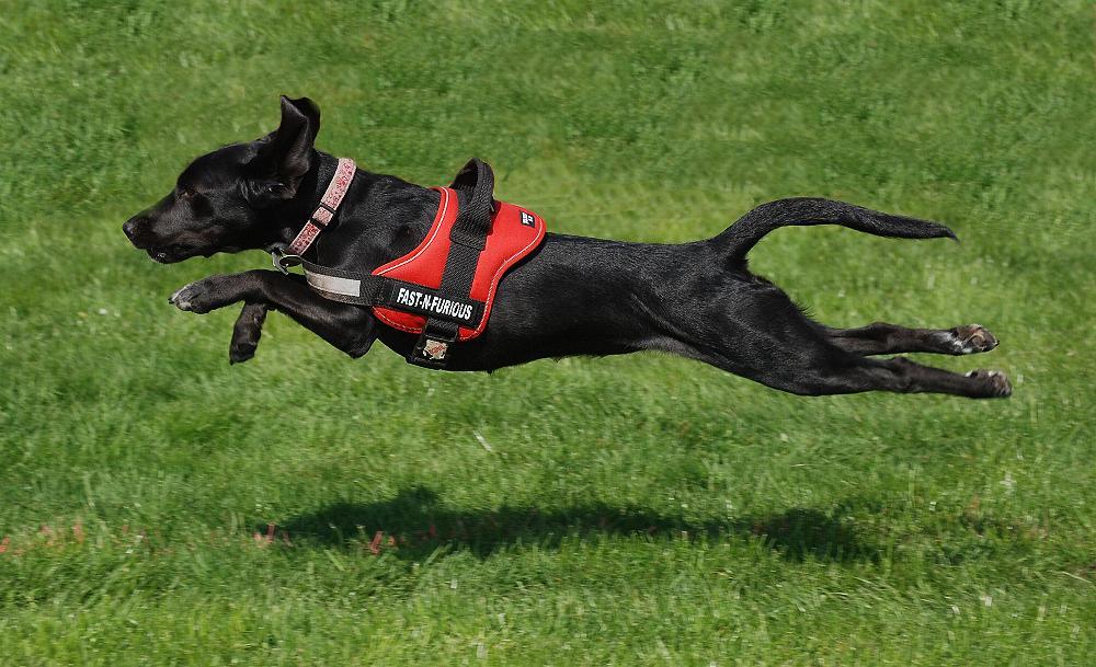 Fliegender Hund