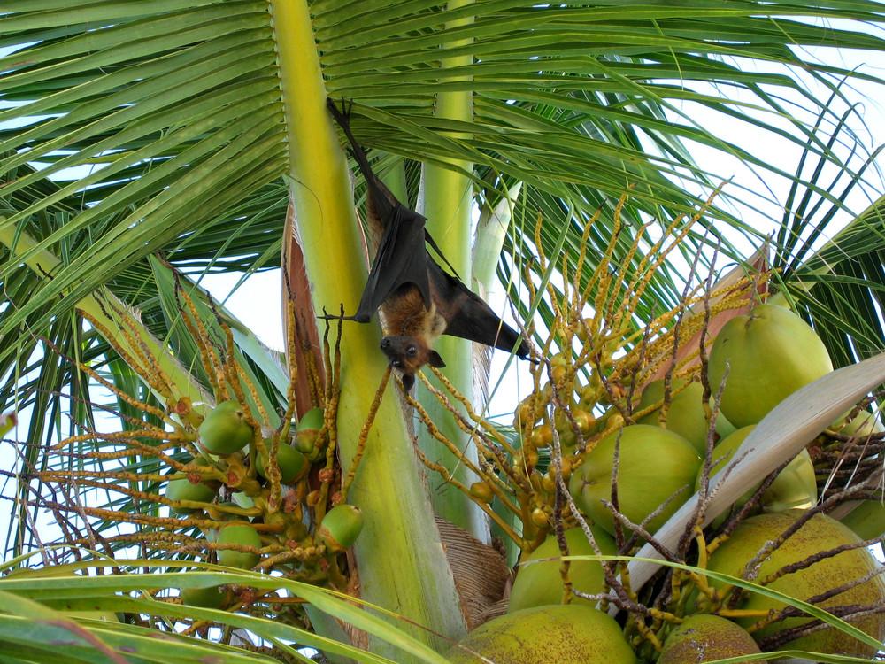 fliegender Hund Malediven