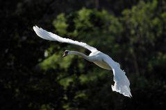 fliegender Schwan II