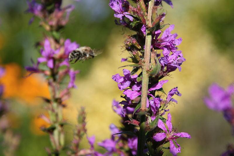 fliegendes Honigbienlein am Teich