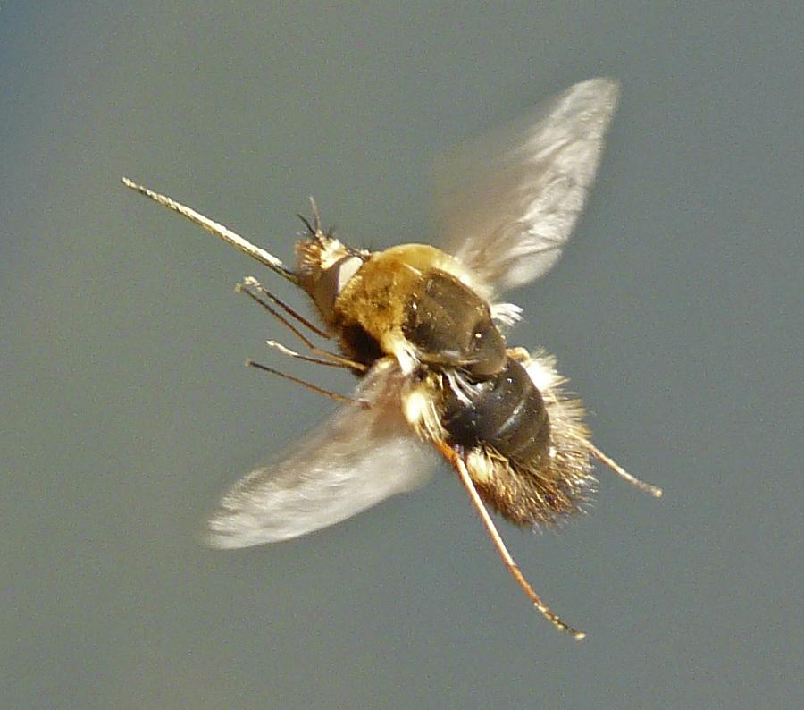 Fliegendes Insekt