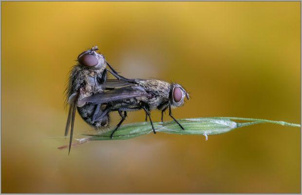Fliegenliebe II .....