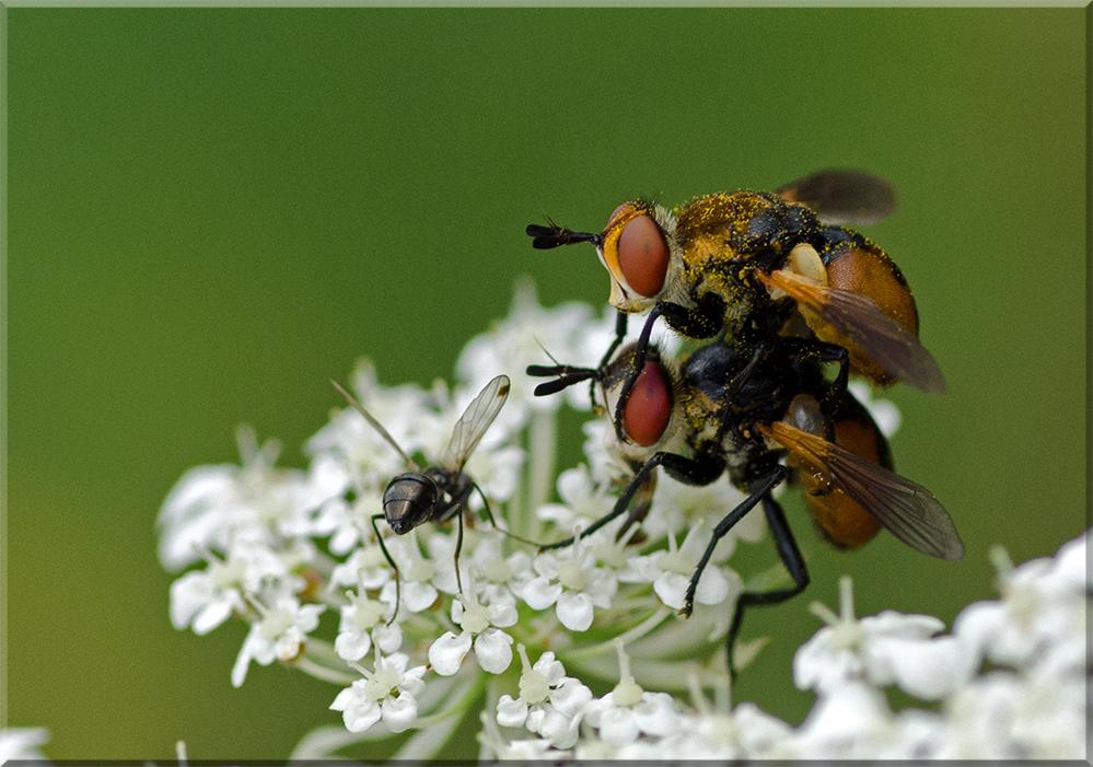 Fliegenpaar 1