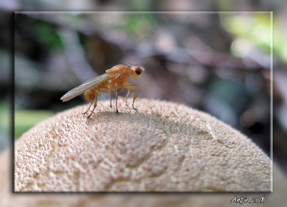 Fliegenpilz