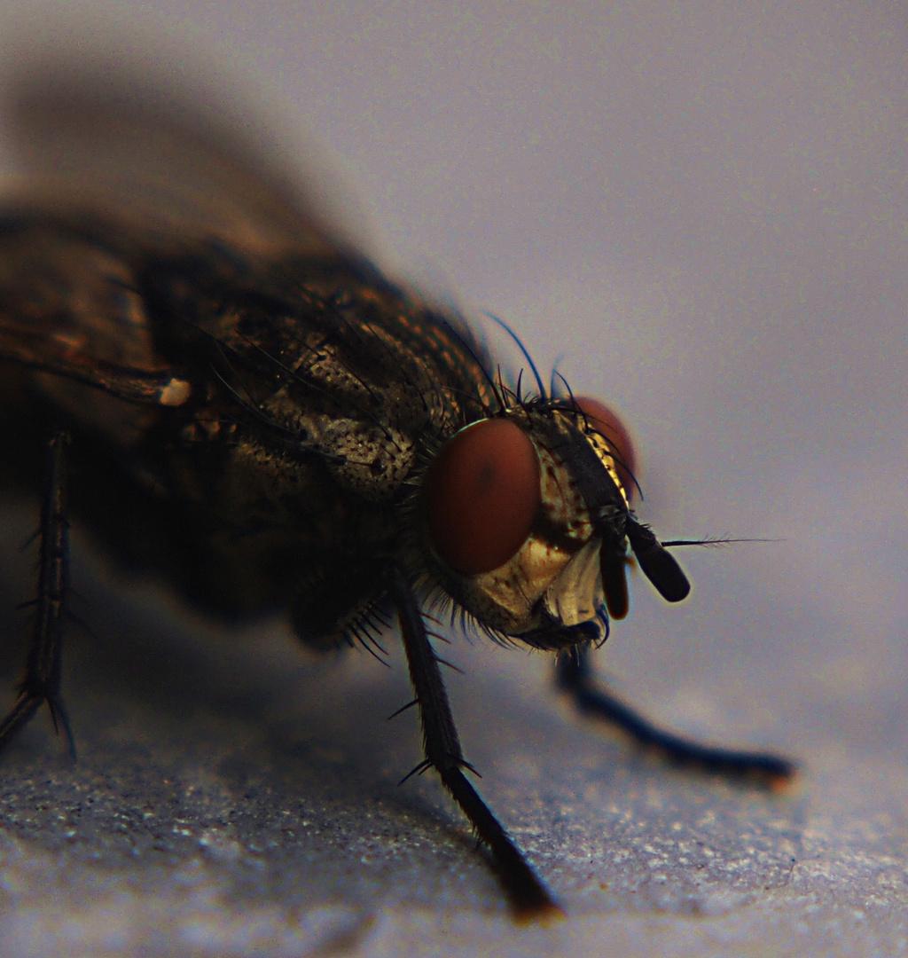 Fliege...schon wieder