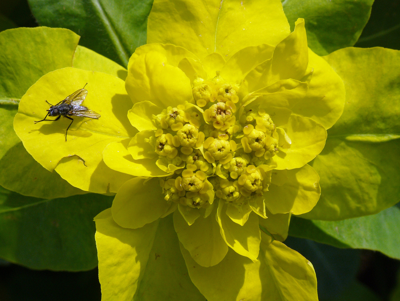 Flieglein auf gelber Blüte