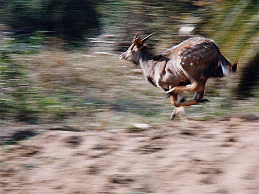 Fliehende Antilope