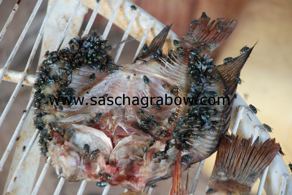 Flies On Dried Fish
