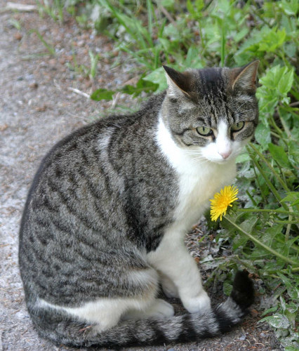 Flimser Katze mit Löwenzahn