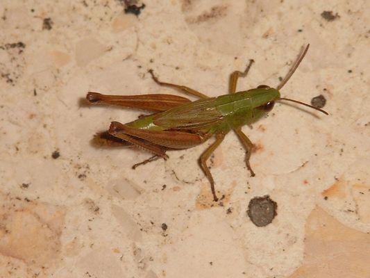 Flip the Grashopper