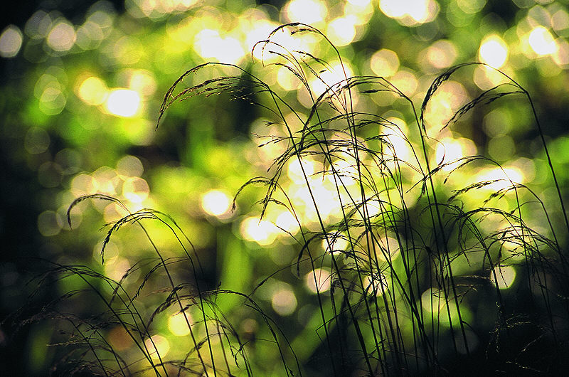 Flirrendes Licht über Gräsern