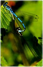 FlitterWoche(Coenagrion ornatum)