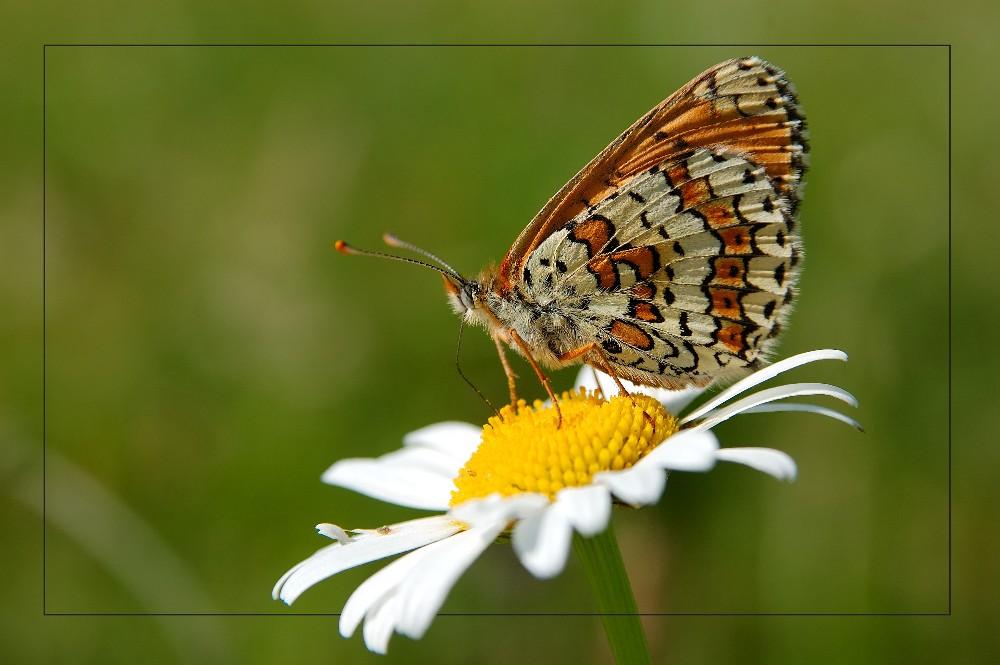 Flockenblume, Schnecke oder Falter?