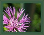 """""""Flocki""""  (Centaurea jacea)"""