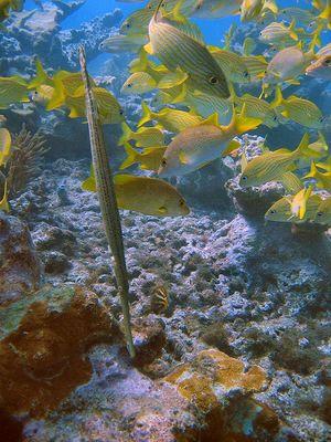 Flötenfisch kopfüber