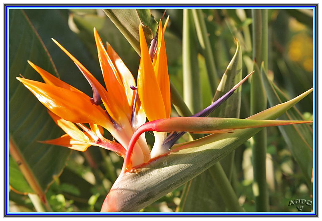 Flor ave del Paraiso (Strelitzia reginae)