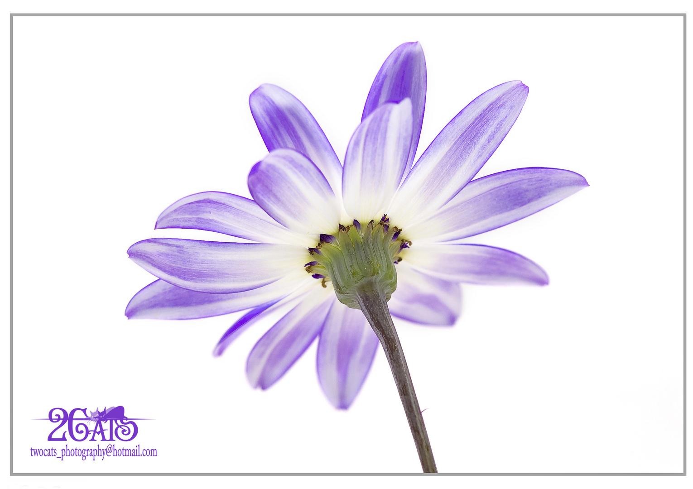 Flor (cara B)
