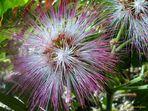 Flor de Albizia Acacia de Constantinopla
